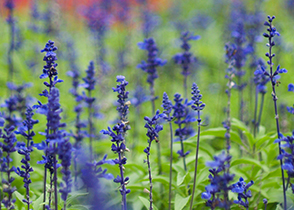 <b>Blue Salvia</b> <i>Salvia haematodes</i><br>To feel well & healthy, health, heal